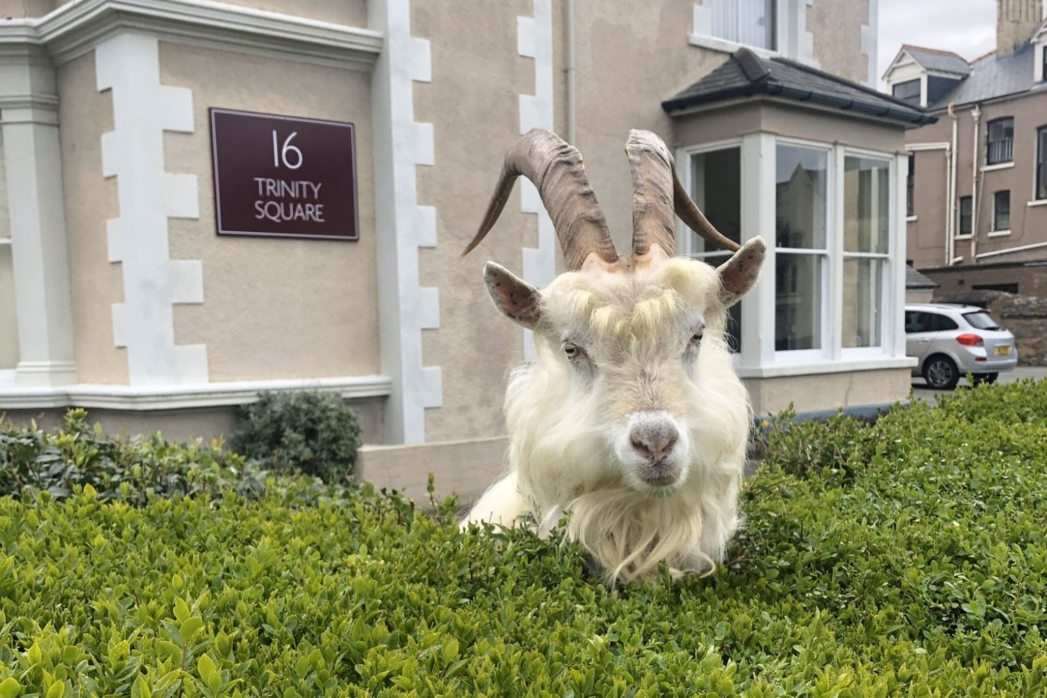 Mountain Goats Invade Welsh Town of Llandudno